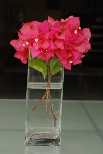 Red Bougainvillea